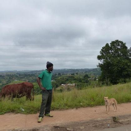 Hirte passt auf die Kühe an der Straße