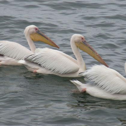 Pelikane warten auch auf das Schiff und die Fischfütterung