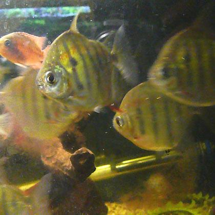 Metynnis fasciatus,  keine schönen Fotos aber schöne Fische :O)