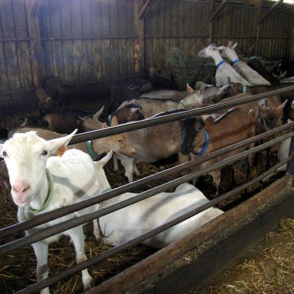 Bild: Ziegen im Stall