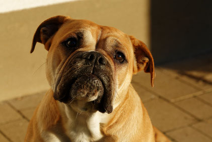 Continental Bulldog Lotte - Vetbulls