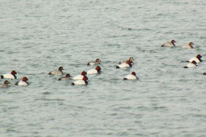 Tafelenten auf dem Fermasee (G. Franke, 28.02.16)