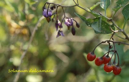 am Waldsaum - Bittersüßer Nachtschatten (Solanum dulcamara) (G. Franke, 2008)
