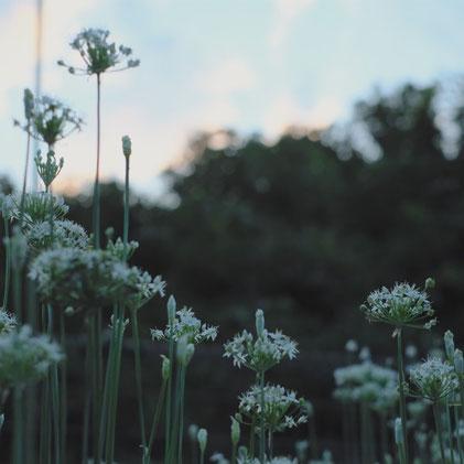 群生するニラの花
