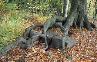 Baumwurzeln, die größere Steine überwuchern