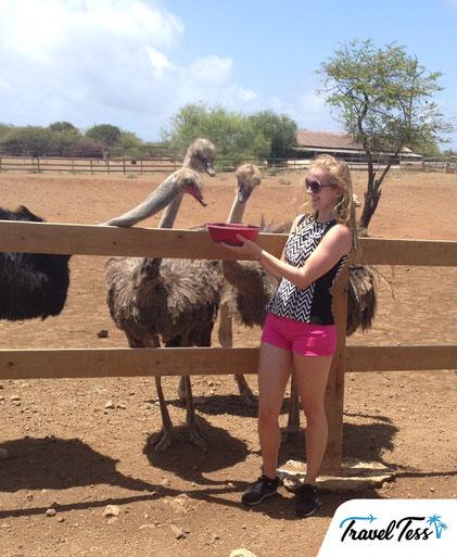 Struisvogels voeren op Curaçao