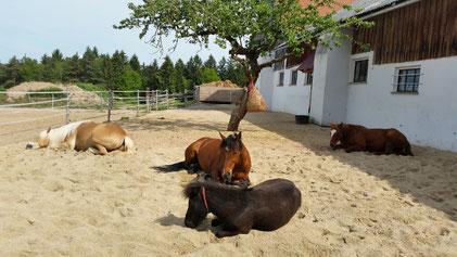 2016: Umbau als Laufstallgebäude. 200 Quadratmeter befestigter Paddock. Sechs verschiedene Bodenarten. Die Pferde fühlen sich im neuen Sandplatz sichtlich wohl.