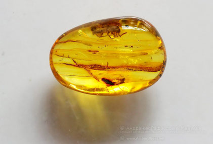 Inclusion in amber: Coleoptera, Silvanidae