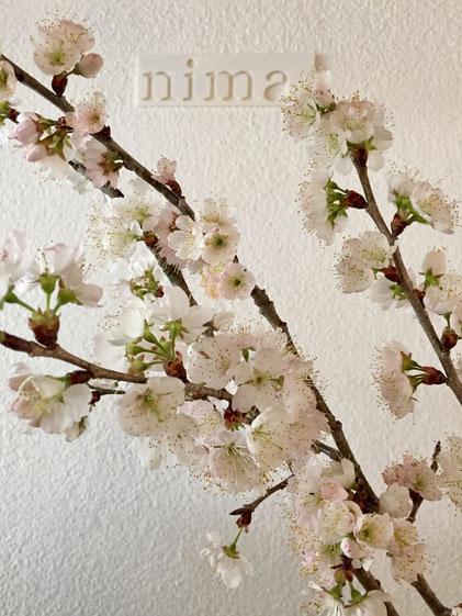 超つぼみの状態で頂いた桜でしたが、五日目で満開に♪ 濱田さん見頃になりましたよ♪