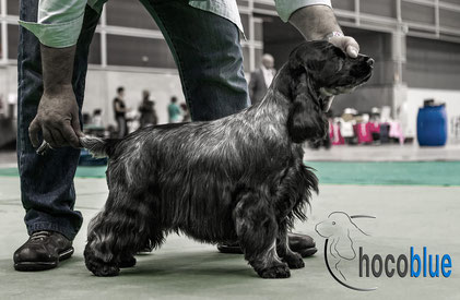 ♀ Ch. Int. & Spain Chocoblue Moneypenny- Cocker Spaniel Inglés