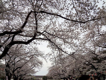 4月6日 上野公園の桜