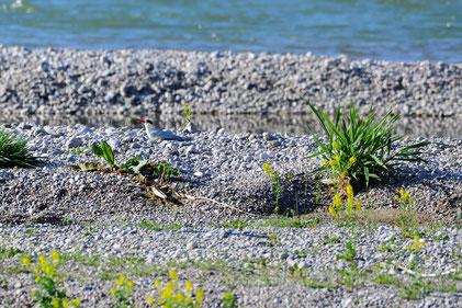 Flussseeschwalben-Attrappe am Wiederansiedlungsstandort in der Pupplinger Au, Foto: Fabian Unger, 2018