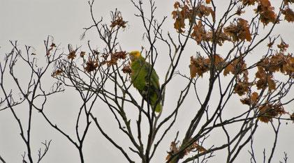 Yellow-headed amazon, Gelbkopfamazone, Amazona oratrix