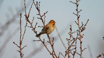 Common Reed Bunting (female), Rohrammer, Emberiza schoeniclus