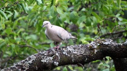 Eurasian Collared Dove, Türkentaube, Streptopelia decaocto