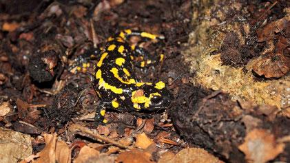 Fire Salamander, Feuersalamander, Salamandra salamandra, Bad Urach