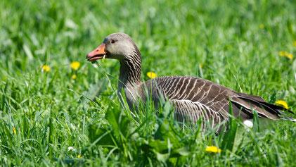 Greylag Goose, Graugans, Anser anser