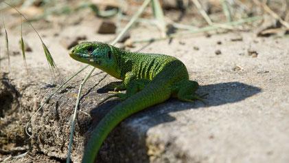 Western Green Lizard, Westliche Smaragdeidechse, Lacerta bilineata