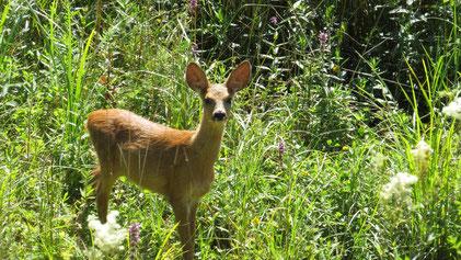 Roe Deer, Reh, Capreolus capreolus