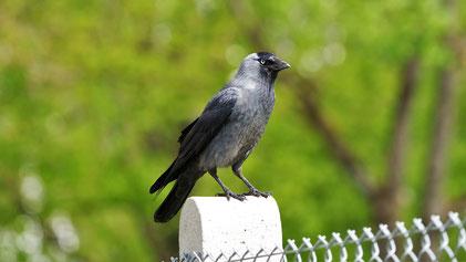 Western Jackdaw, Dole, Corvus monedula, Donautal