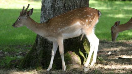 European Fallow Deer, Dammhirsch, Dama dama