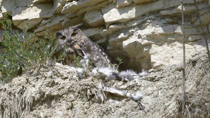 Eagle Owl, Uhu, Bubo bubo