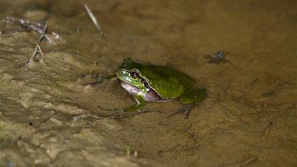 European Tree Frog, Laubfrosch, Hyla arborea