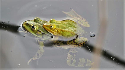Common Water Frog, Teichfrosch, Rana esculenta