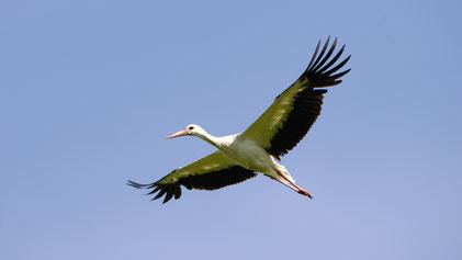 White Stork, Weißstorch, Ciconia ciconia