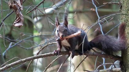 Eurasian Squirrel, Eurasisches Eichhörnchen, Sciurus vulgaris