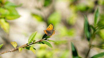 Small Copper, Kleiner Feuerfalter, Lycaena phlaeas