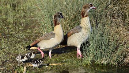 Egyptian Goose, Nilgans, Alopochen aegyptiaca, Neckartal, Kirchentellinsfurt