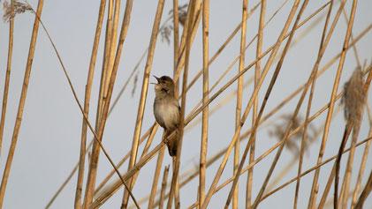 Great reed warbler, Drosselrohrsänger, Acrocephalus arundinaceus