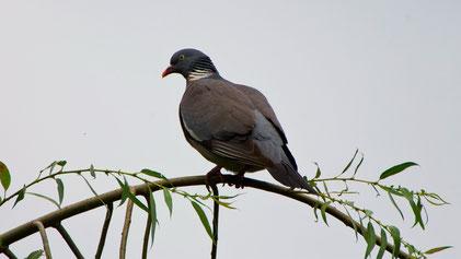 Common Wood Pigeon, Ringeltaube, Columba palumbus