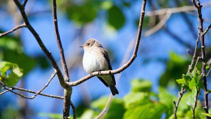 Spotted Flycatcher, Grauschnäpper, Muscicapa striata