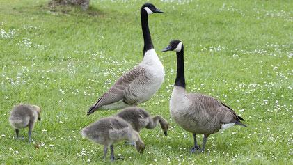 Canada Goose, Kanadagans, Branta canadensis