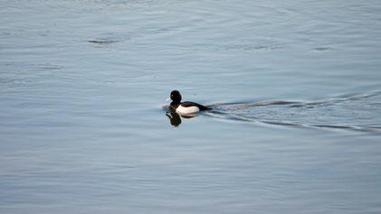 Tufted Duck, Reiherente, Aythya fuligula