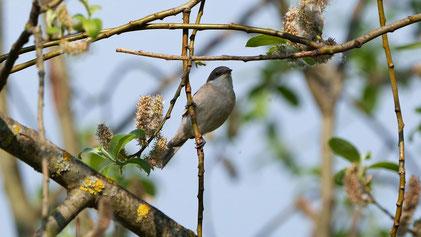 Lesser Whitethroat, Klappergrasmücke, Sylvia curruca