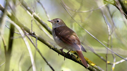 Nightingale, Nachtigall, Luscinia megarhynchos