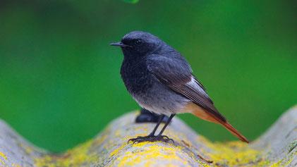 Black Redstart, Hausrotschwanz, Phoenicurus ochruros (male)