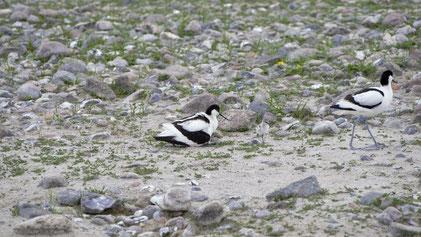Pied Avocet, Säbelschnäbler, Recurvirostra avosetta, Fehmarn