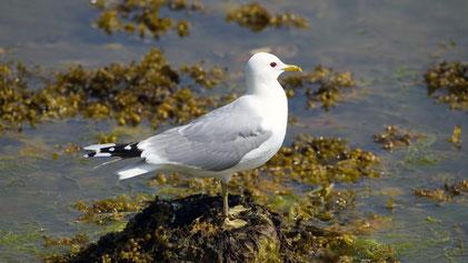 Common Gull, Sturmmöwe, Larus canus