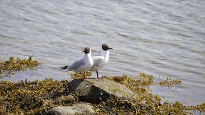 Black-headed Gull, Lachmöwe, Chroicocephalus ridibundus