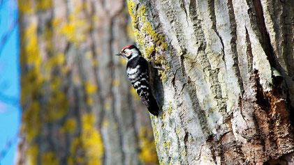 Lesser Spotted Woodpecker, Kleinspecht, Dryobates minor