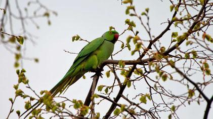 Rose-ringed Parakeet, Halsbandsittich, Psittacula krameri, Mannheim