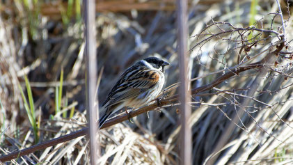 Common Reed Bunting (male), Rohrammer, Emberiza schoeniclus
