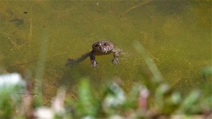 Yellow-bellied Toad, Gelbbauchunke, Bombina variegata, Listhof Reutlingen