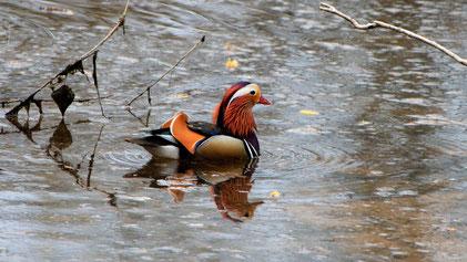 Mandarin Duck, Mandarinente, Aix galericulata, Neckartal