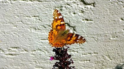 Painted Lady Butterfly, Distelfalter, Vanessa cardui