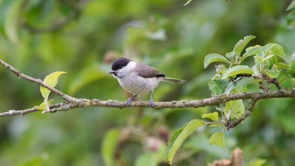 Willow Tit, Weidemeise, Poecile montanus
